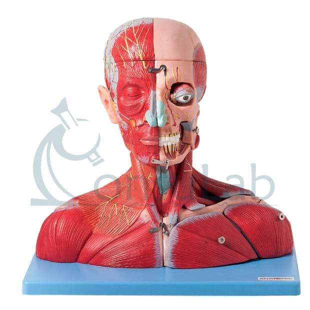 Cabeça, Pescoço, Ombros, Peito Muscular com Vasos, Nervos e Cérebro em 19 Partes