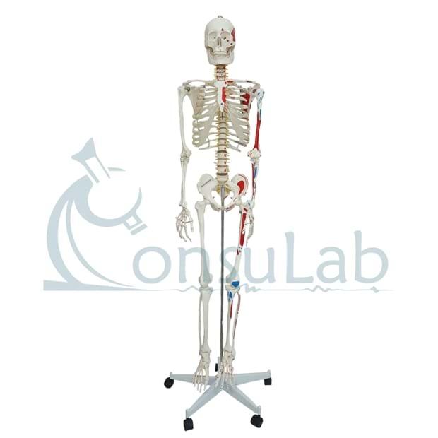 Esqueleto Aprox. 168cm Articulado com Inserções Musculares; Suporte e Base c/ Rodas