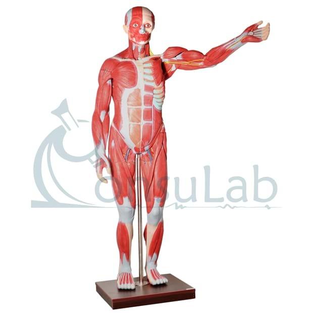 Manequim Muscular Assexuado 170cm com Órgãos Internos em 30 partes