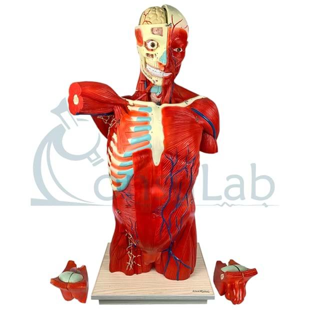 Torso Muscular 108 cm Masculino com Órgãos Internos em 28 Partes
