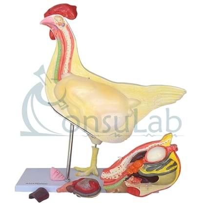 Anatomia da Galinha em 5 partes