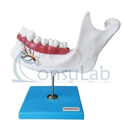 Anatomia dos Dentes  em 6 Partes