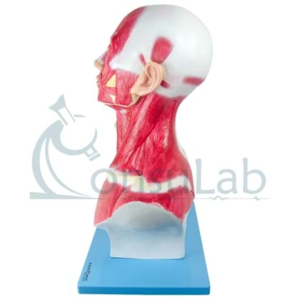 Cabeça e Pescoço Muscular