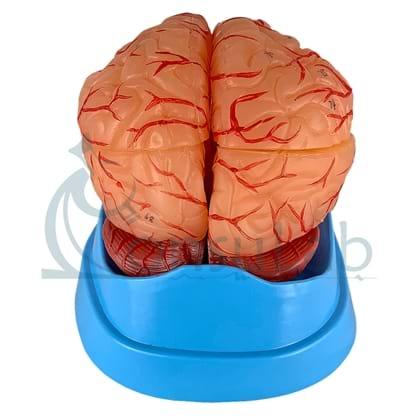 Cérebro com Artérias em 9 Partes