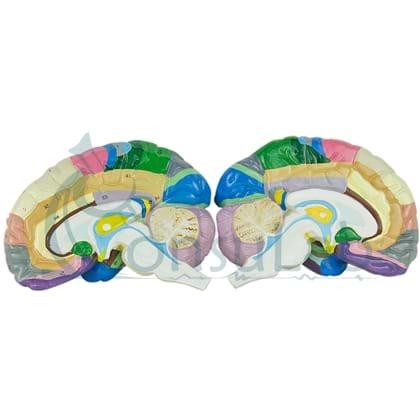 Cérebro com Região Funcional do Córtex em 2 Partes