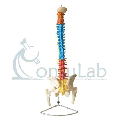 Coluna vertebral Colorida em Tamanho Natural