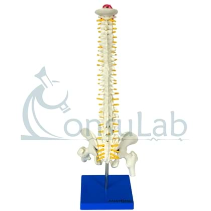 Coluna Vertebral de 50 cm