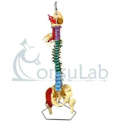 Coluna Vertebral  Multifuncional Flexível Tamanho Natural