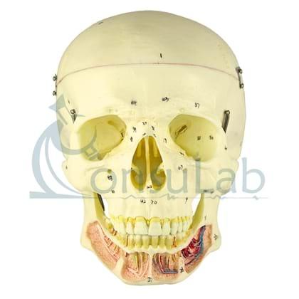 Crânio Clássico com Mandíbula Aberta em 2 Partes