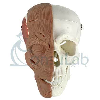 Crânio com Músculos da Face