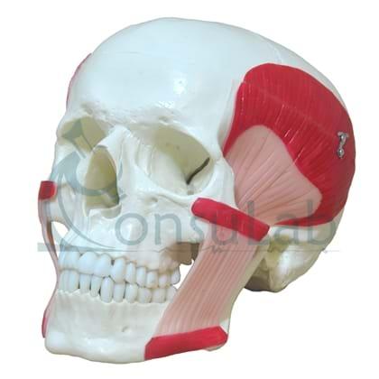 Crânio com Músculos da Mastigação