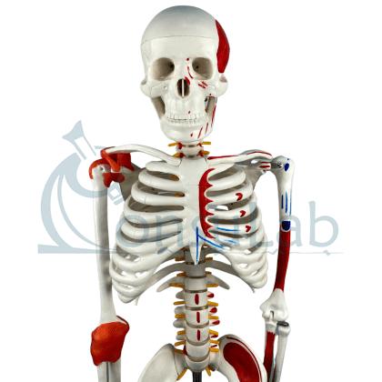 Esqueleto 85 cm c/ Ligamentos, Inserções Musc., Suporte e Base