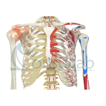 Esqueleto Aprox.170 cm c/ Ligamentos, Inserções Musc., Suporte e Base c/ Rodas