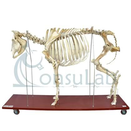 Esqueleto da Vaca em Tamanho Natural