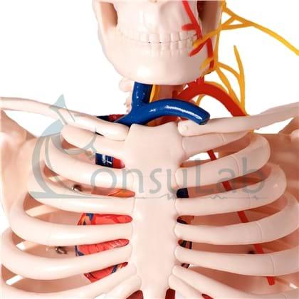 Esqueleto de 85 cm com Nervos e Vasos Sanguíneos