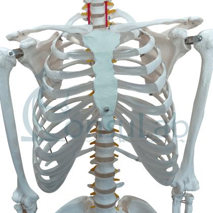 Esqueleto Padrão Aproximadamente 170cm com Suporte e Rodas