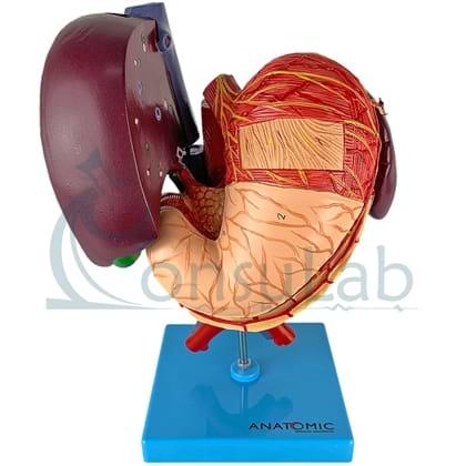 Fígado, Vesícula biliar, Pâncreas e Duodeno