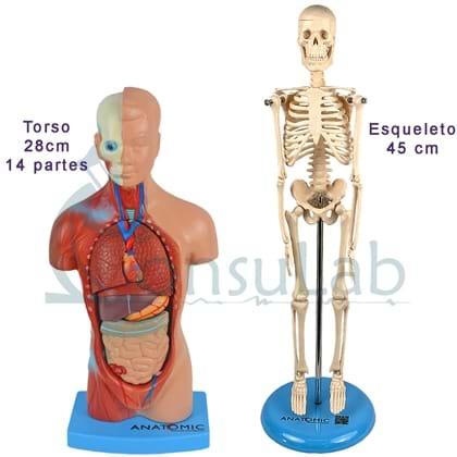 Kit Anatomia Torso 28cm e Esqueleto 45cm