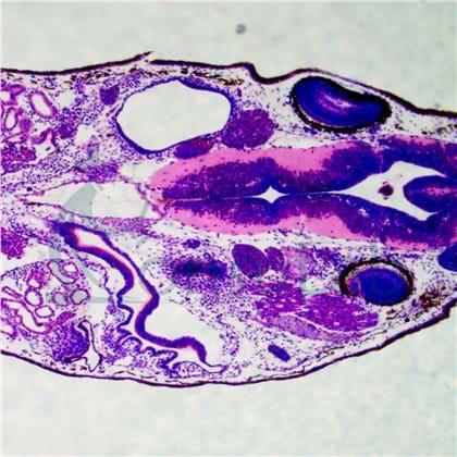 Lâminas Preparadas de Embriologia
