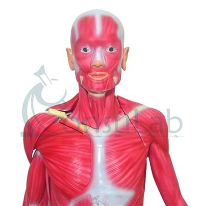 Manequim Muscular Assexuado 170 cm em 33 Partes