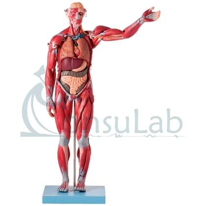 Manequim Muscular Assexuado de 78 cm com Órgãos Internos em 27 Partes