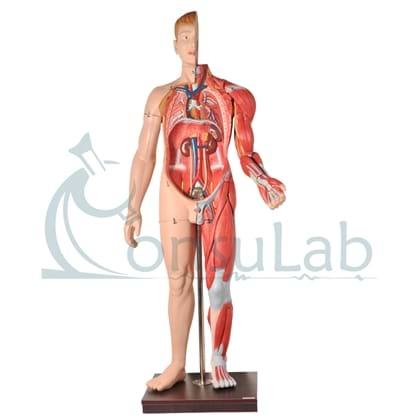 Manequim Muscular Masculino de 170 cm com Órgãos Internos em 32 Partes