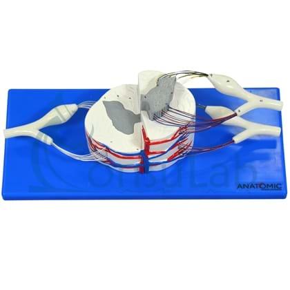 Medula Espinhal Ampliada