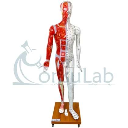 Modelo de Acupuntura Aprox. 178 cm, Masculino
