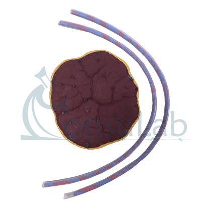Modelo de Placenta com Cordão Umbilical