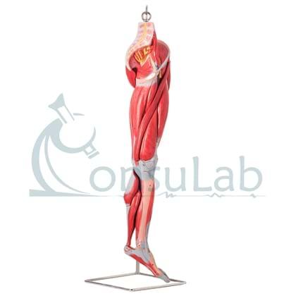 Músculos do Membro Inferior com Principais Vasos e Nervos em 10 Partes