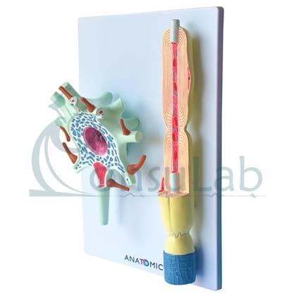 Neurônio em 2 Partes