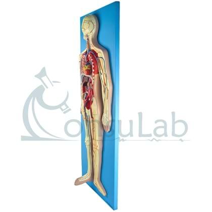 Sistema Circulatório em Prancha
