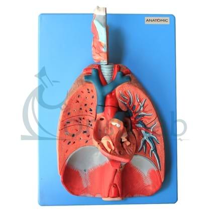 Sistema Respiratório e Cardiovascular LUXO em 7 Partes
