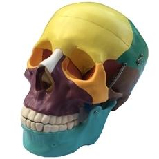 Crânio Didático Colorido