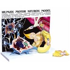 Diorama de um Neurônio Motor com Prancha Explicativa