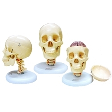 Crânio com Coluna Cervical e Cérebro
