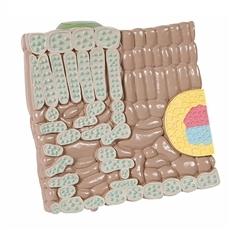 Modelo da Estrutura da Folha
