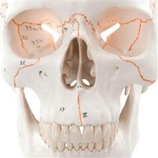 Crânio clássico com estruturas numeradas