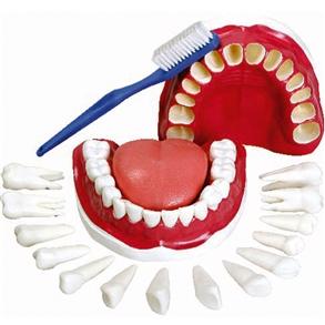 Modelo de Dentição com Todos Os Dentes Removíveis