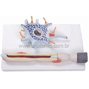 Célula Nervosa (neurônio)