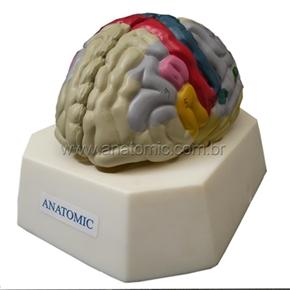 Cérebro com Região Funcional do Córtex