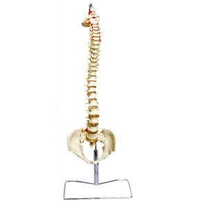Coluna Vertebral Flexível