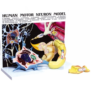Diorama de um Neurônio Motor (com prancha explicativa)