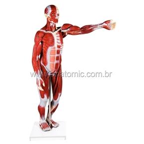 Figura Muscular Assexuada 170 cm com 27 Partes com Órgãos Internos