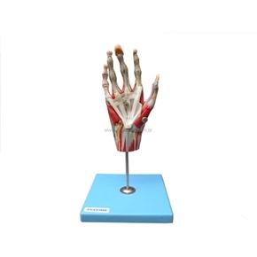 Mão Muscular com Principais Nervos e Vasos.
