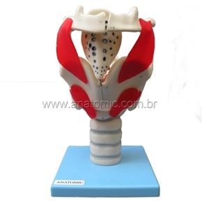 Modelo funcional da laringe