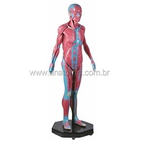 Modelo Muscular Assexuado 170 cm com 34 Partes