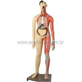Modelo Muscular Bissexual 160cm com Órgãos Internos