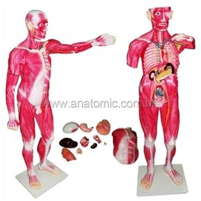 Modelo Muscular Masculino 170 cm com Órgãos internos 30partes