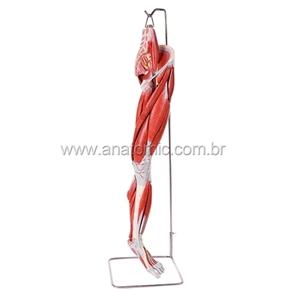 Músculos do Membro Inferior com os Principais Vasos e Nervos
